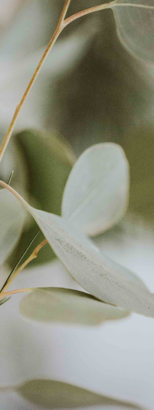 Eucalyptus leaves texture